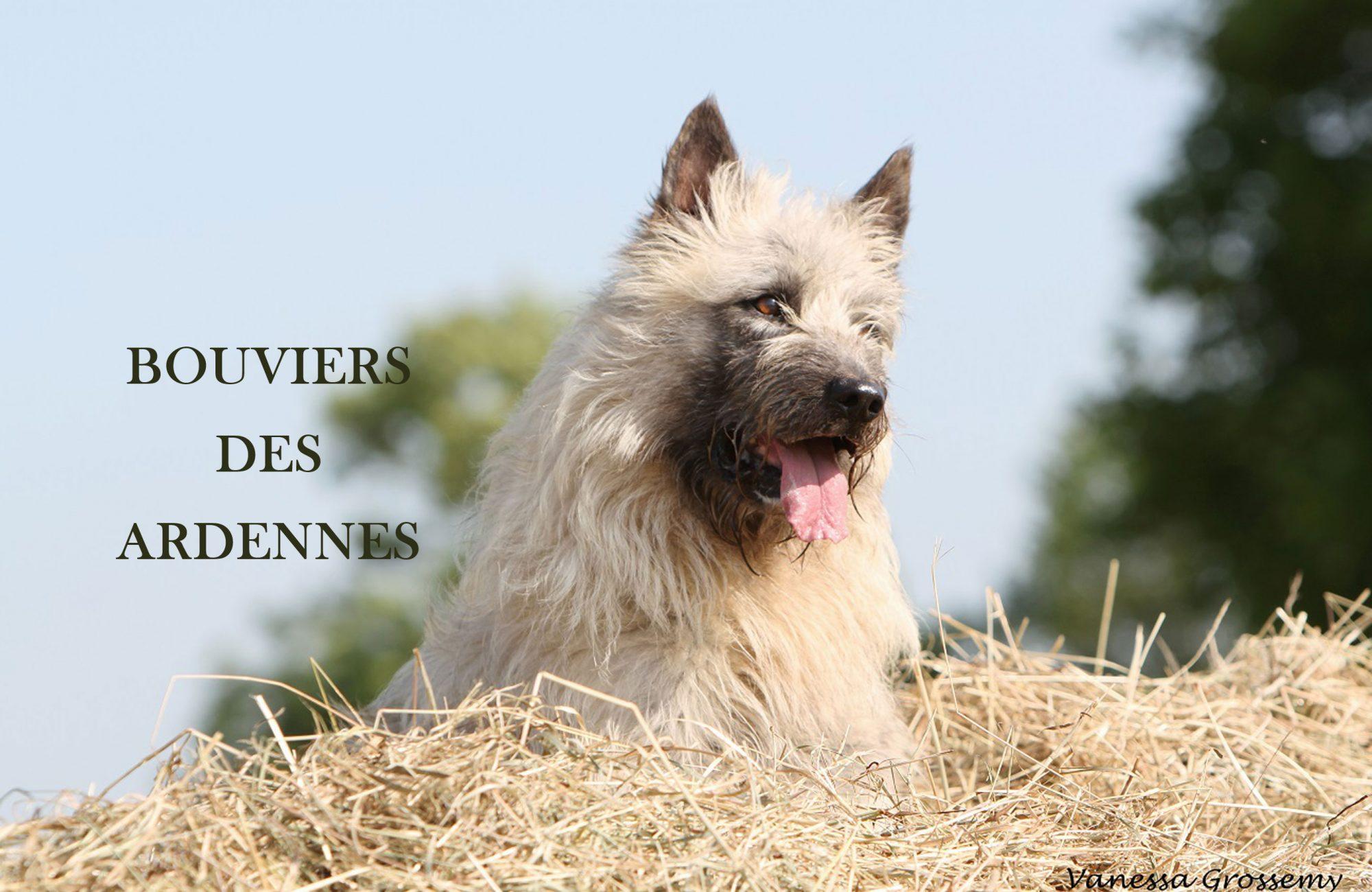 Bouviers des Ardennes